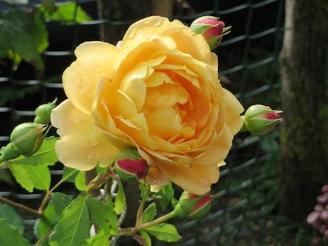 B2014 Rose