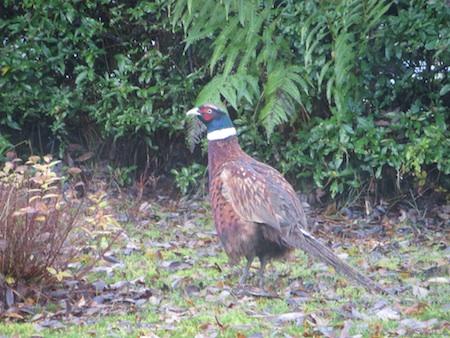 B2013 Pheasant