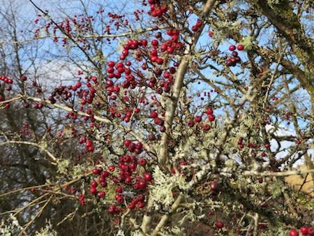 B2014 Hawthornberries