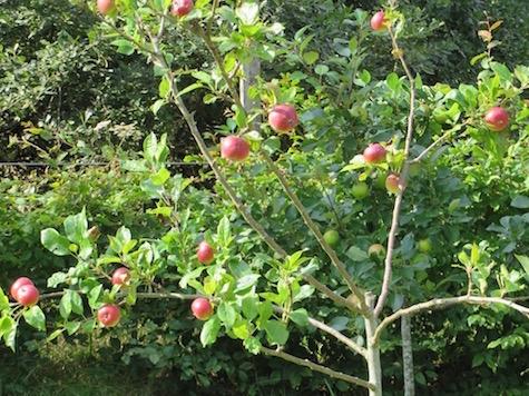 B2016 Applesontree